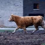 Krowa uciekinierka (wideo)
