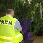 27-latek uprawiał marihuanę