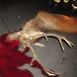 Wielki jeleń potrącony przez kilka aut