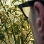 O medycznej marihuanie w kinie Komeda