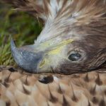 Otrute ptaki. Wśród nich Bielik nazywany także orłem
